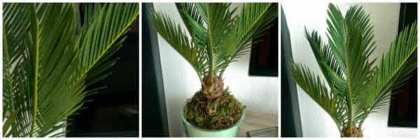 Palmboompje