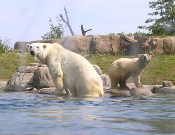 Ijsberen water