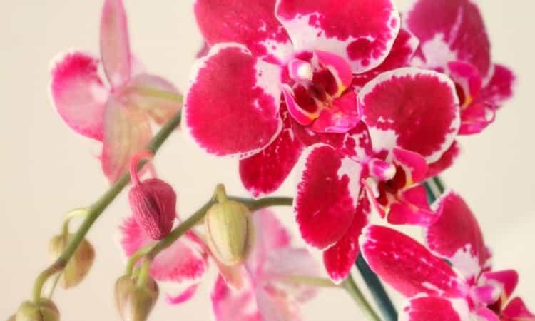 Favorite Orchidee