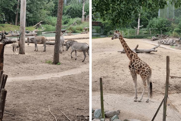 zebra's en giraffen